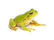 Green tree frog isolated on white