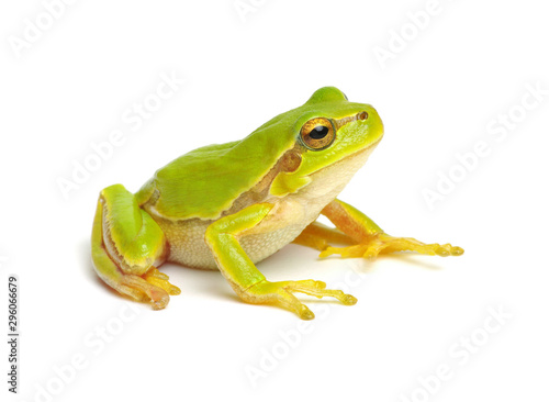 Spoed Foto op Canvas Kikker Green tree frog isolated on white