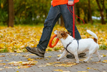 Dog Walking On Leash In Fall Park Holding Orange Toy In Mouth