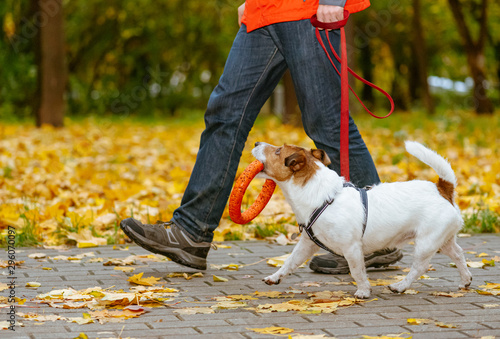 Cuadros en Lienzo  Dog walking on leash in fall park holding orange toy in mouth