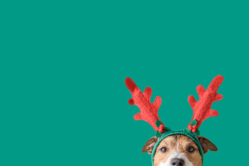 FototapetaNew year and Christmas concept with Dog wearing reindeer antlers headband against solid green background