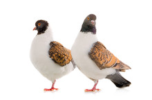 Two German Pigeon Modena Isolated On White Background