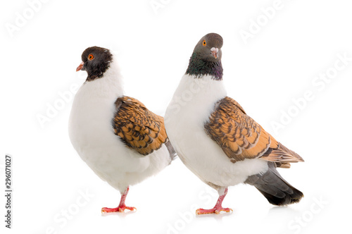Leinwand Poster  two German pigeon modena isolated on white background