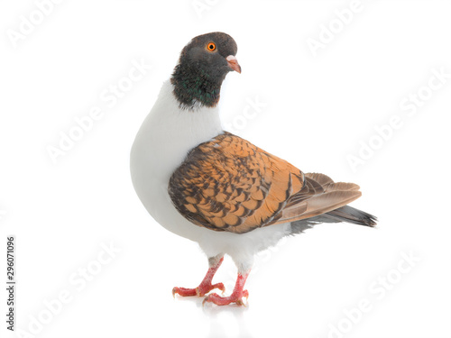 German pigeon modena isolated on white background Canvas Print