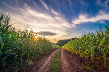 Beautiful Corn Field Farm At Sunrise Sky.