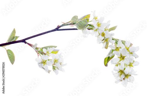 Fotografie, Obraz white isolated bird cherry blooming branch