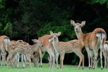 Fallow Deer And Fawn