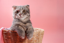 Scottish Fold Cat Breed, Age 3 Months In Basket . Little Scottish Fold Cat Cute Ginger Kitten In The Fluffy Pet Is Feeling Happy And Cat Lovely Comfortable . Love To Animals Pet Concept .