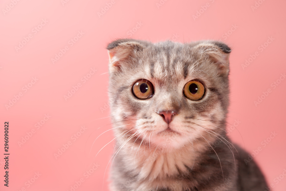 Fototapety, obrazy: Scottish fold cat breed, age 3 months. Little scottish fold Cat cute ginger kitten in the fluffy pet is feeling happy and cat lovely comfortable . love to animals pet concept .
