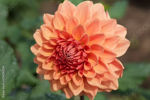 In de dag Dahlia Beautiful orange dahlia flowers in the garden blooming in autumn.