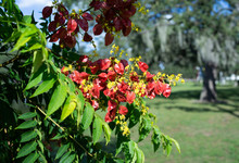 Koelreuteria Paniculata Tree And Flower In Autumn. Common Names Include Goldenrain Tree, Pride Of India, China Tree, Or Varnish Tree. The Yellow Flowers Have Turned Into Brownish Colored Seed Pods.