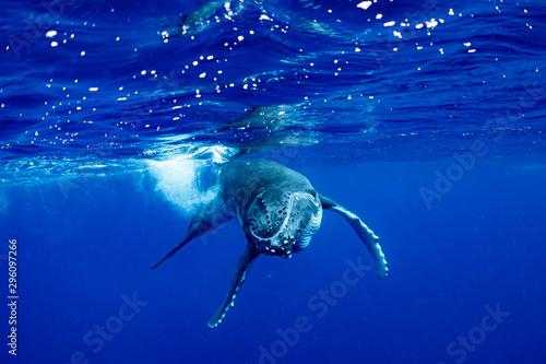 Fotografie, Obraz ザトウクジラ 座頭鯨 Humpback whale