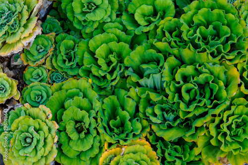 Fototapeta Many Water lettuec in the fountain, Green water lettuec aquatic plant grow texture background in pot pond water in the garden, Aquatic Plant, Float Water lettuec In Tubs. obraz