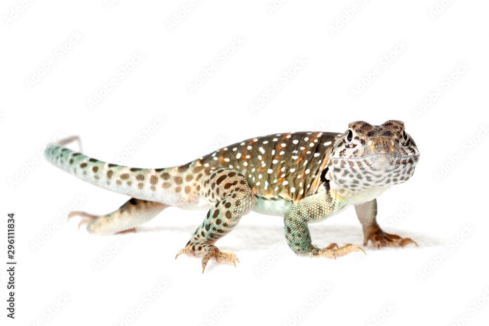 Fototapeta Collared lizard isolated on white background