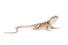 Collared Lizard Isolated On Wh...