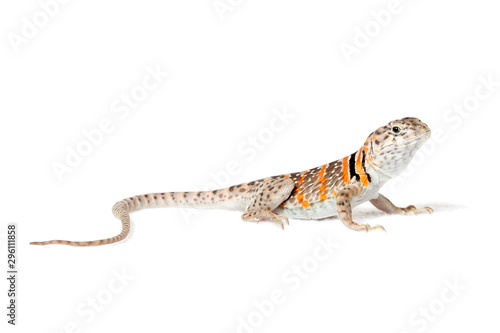 Photo  Collared lizard isolated on white background