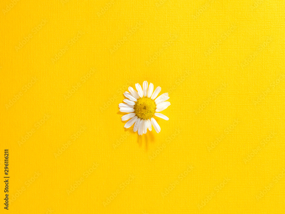 Fototapety, obrazy: Single chamomile flower on a bright yellow paper