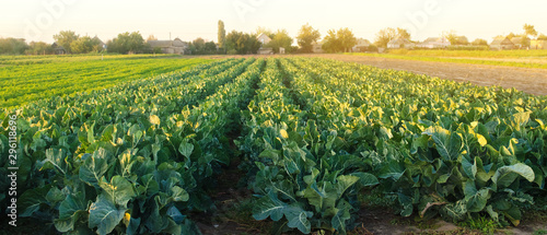 Fototapeta Broccoli plantations in the sunset light on the field. Growing organic vegetables. Eco-friendly products. Agriculture and farming. Plantation cultivation. Cauliflower. Selective focus obraz