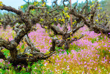 Old Trunks And Young Green Shoots Of Wine Grape Plants In Rows In Vineyard And Spring Wild Flowers