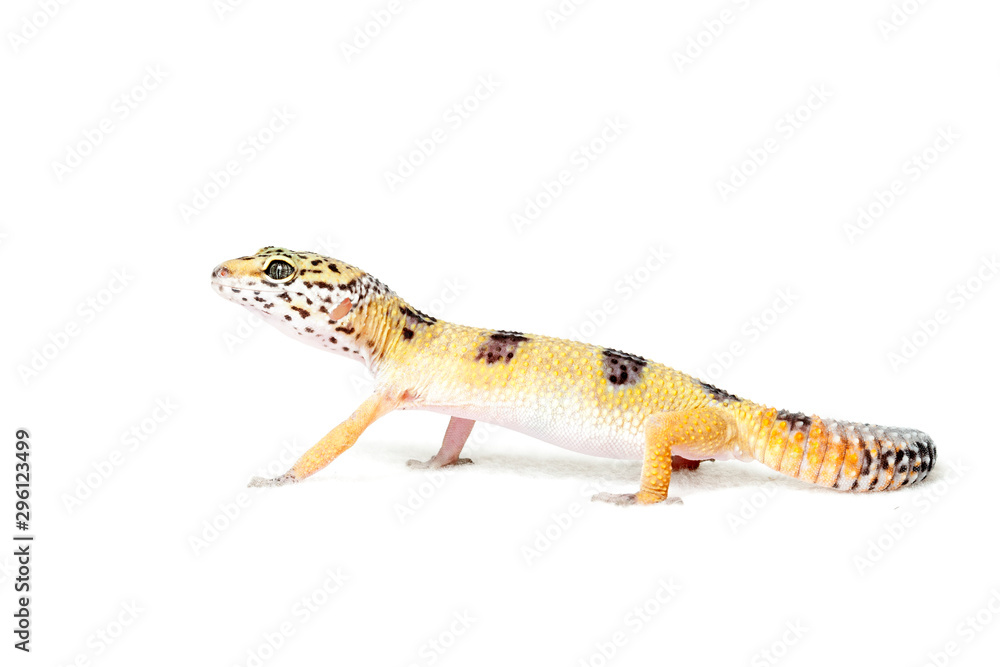 Fototapeta Leopard gecko isolated on white background