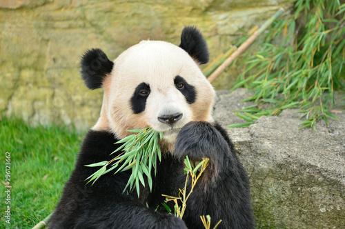 Keuken foto achterwand Panda 笹の葉を食べるパンダ