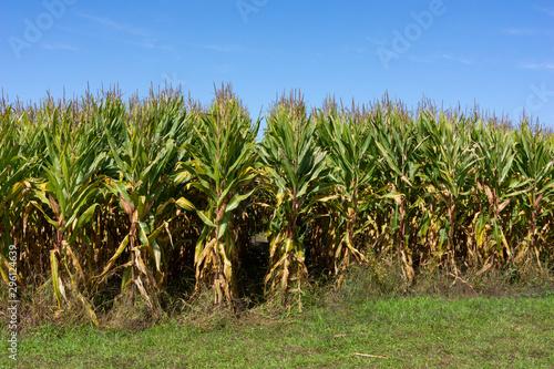 Corn stalk rows with blue sky above Fototapeta