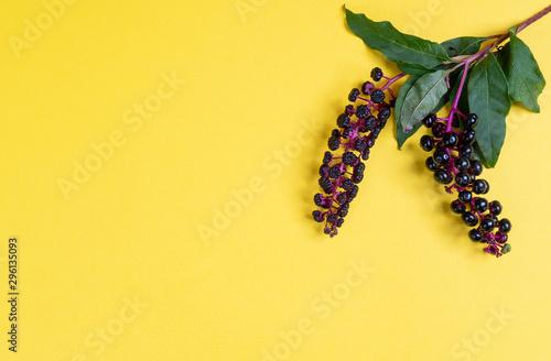 Pokeberry berries - 296135093