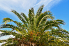 Close-up Of The Top Of A Palm Tree (Arecaceae) With The Green Branches Against Blue Sky Background In Summer, Italy