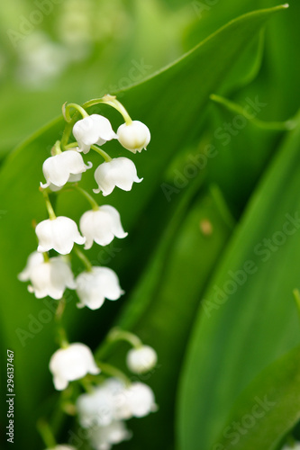 Wall Murals Lily of the valley Lily of the valley flowers. Spring flowers