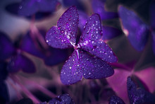 The Bright Purple Leaves Of The Oxalis Are Covered With Dew Droplets That Glisten In The Light.