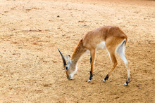 Thomson's Gazelle Eating In Th...
