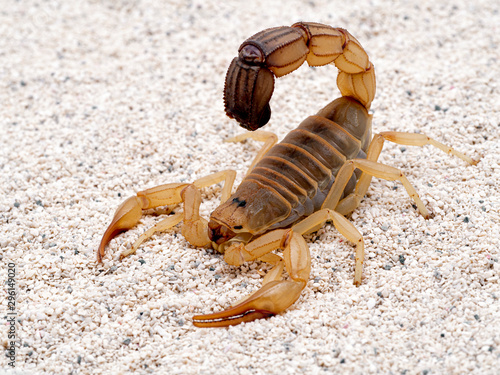 Valokuvatapetti Highly venomous fattail scorpion, Androctonus australis, on sand, 3/4 view
