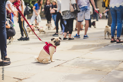 young french bulldog sitting on the street