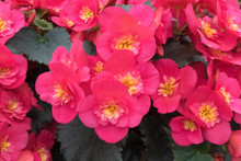 Full Frame Image Of Red Blooming Begonia Flowers