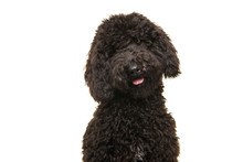 Portrait Of A Black Labradoodle Dog Looking At The Camera Isolated On A White Background