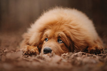 Tibetan Mastiff Dog Lying In T...