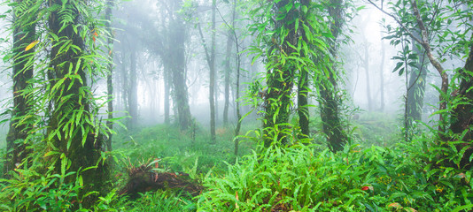 Fototapeta Las Pure primeval tropical forest in the morning mist.