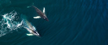 Aerial View Of Huge Humpback W...