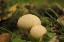 Two Puffballs Closeup In A Forest In Autumn