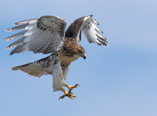 A Fledgling Red-tailed Hawk Pr...