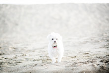 White Dog On Sand At Beach