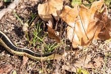 Garter Snake In Leaves
