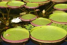 Victoria Cruziana Jardin Botanico La Concepcion Malaga Andalucia España