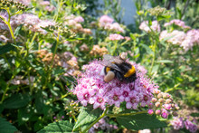 Bumble Bee On A Pink Flower, B...