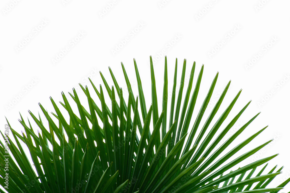Fototapety, obrazy: Part of tropical palm on white background. Green branches leaves foliage