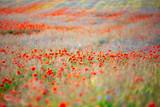 Fototapeta Kwiaty - Makowa łąka