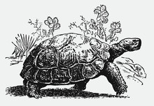 Endangered Galapagos Giant Tortoise, Chelonoidis Walking In Front Of Cactus Plants. Illustration After An Antique Engraving From The 19th Century