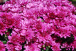 canvas print picture - drops of dew on shallow pink chrysanthemums