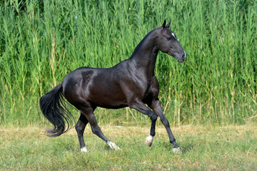 Black akhal teke breed horse runs in the field near long water grass.