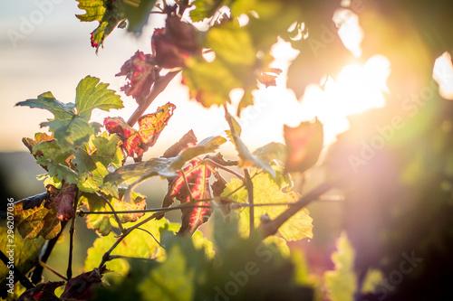 Foto auf Leinwand Melone Weinblätter im Herbst